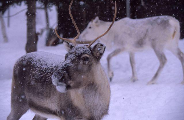 Renar i snö. Foto Per G Norén