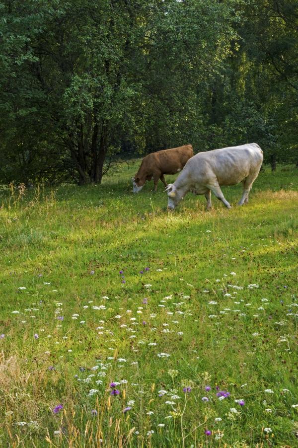 Bild på betande kor i en blomsterbacke i Stibbarp i Småland.
