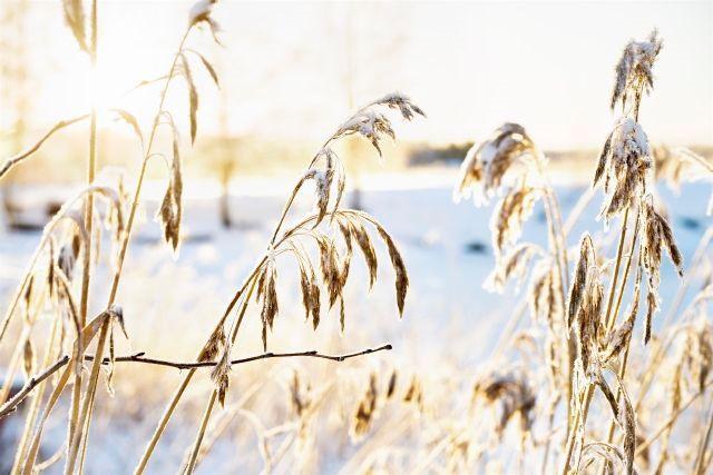 Växt och rimfrost i motljus.