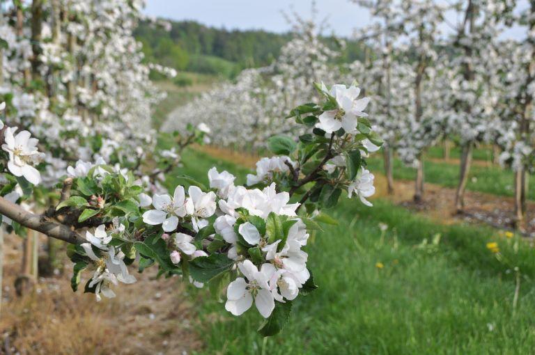 Närbild på en blommande äppelkvist och fler äppelträd i bakgrunden.