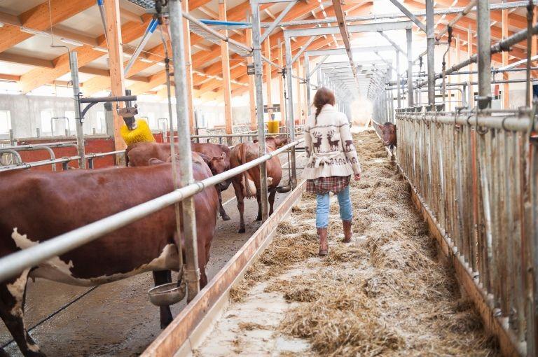 Bild på kor i en ladugård.