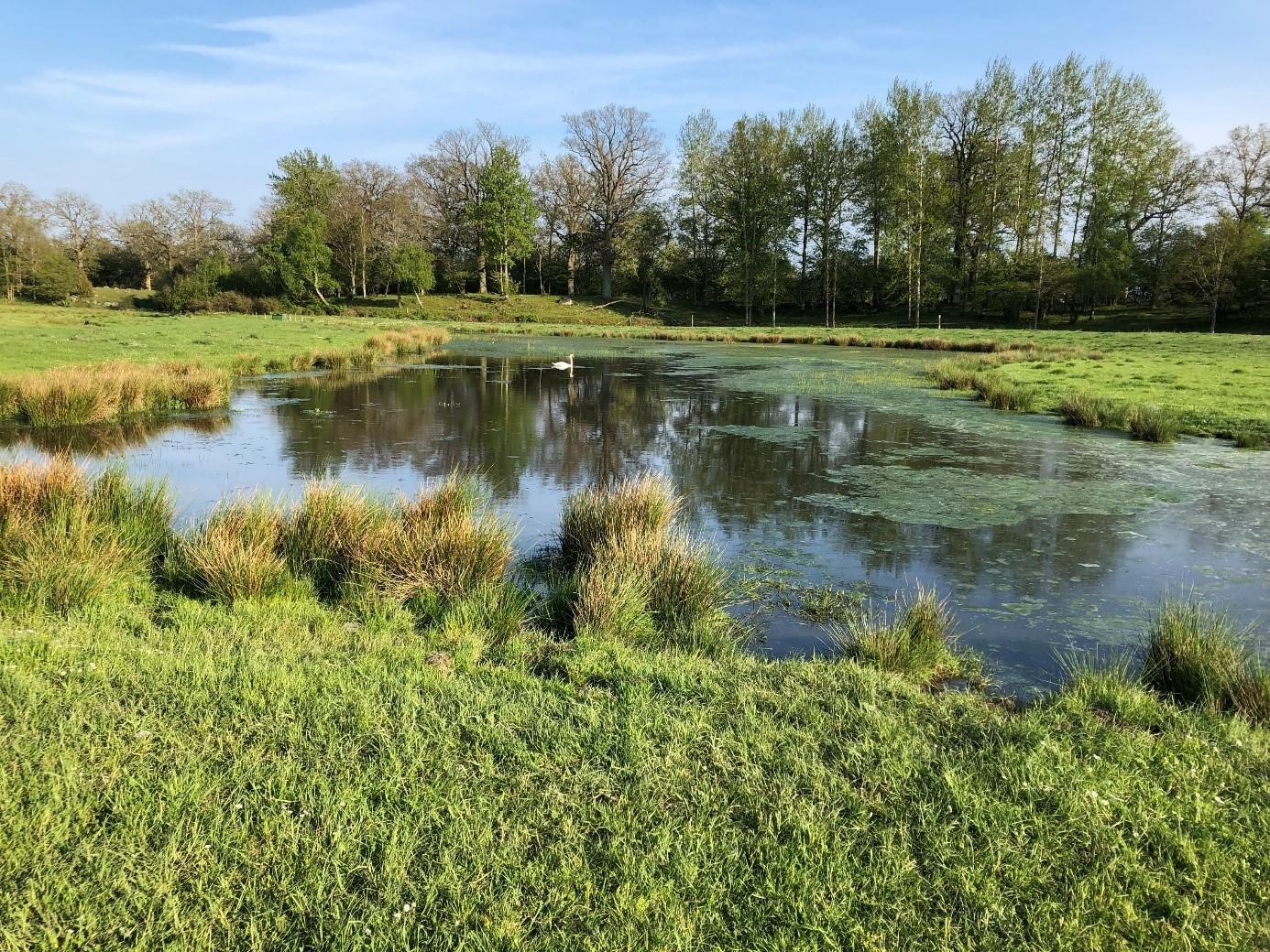 I förgrunden av fotot syns våtmarkens kant. På andra sidan våtmarken syns träd och en blå himmel. I våtmarken syns växtlighet och flytande alger.